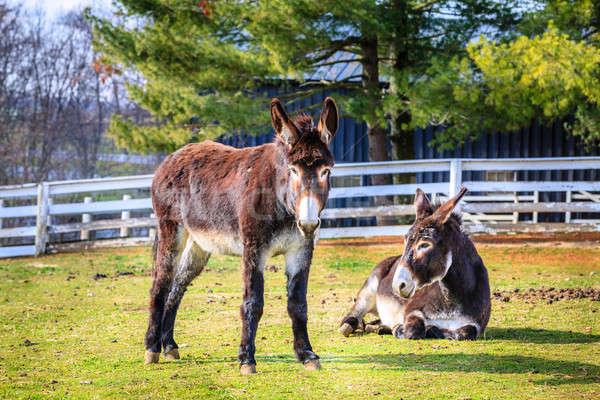 Farm kettő Kentucky fű mező állatok Stock fotó © alexeys