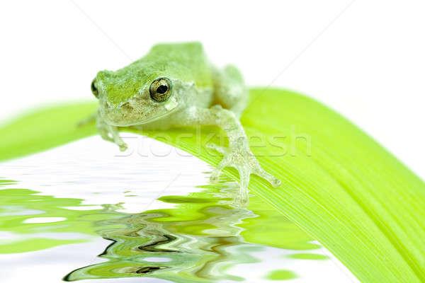 Frog on a leaf Stock photo © alexeys