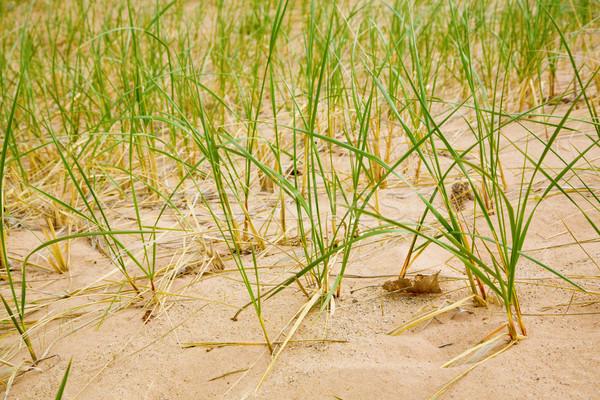 Wydma obraz trawy rozwój Zdjęcia stock © alexeys