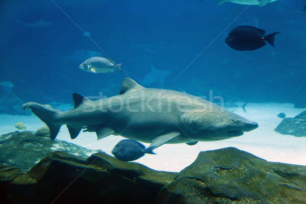 Tigre requin subaquatique image poissons nature Photo stock © alexeys