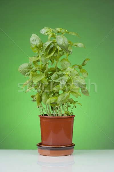 Basil Plant Stock photo © alexeys