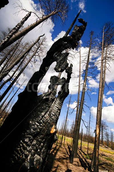 Charred tree Stock photo © alexeys