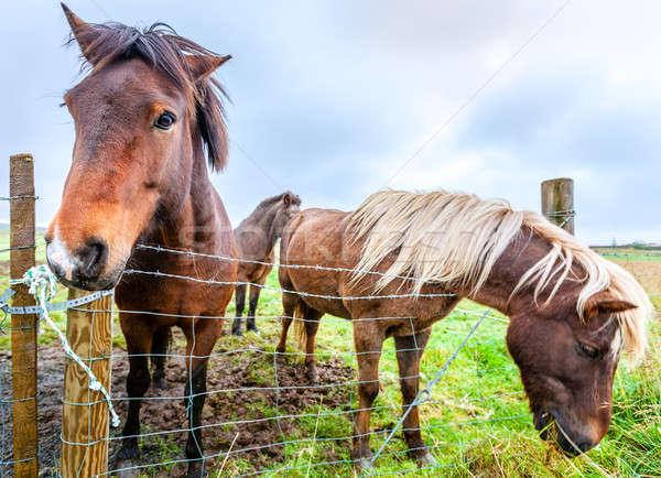 ファーム アイスランド 空 馬 フェンス 農業 ストックフォト © alexeys