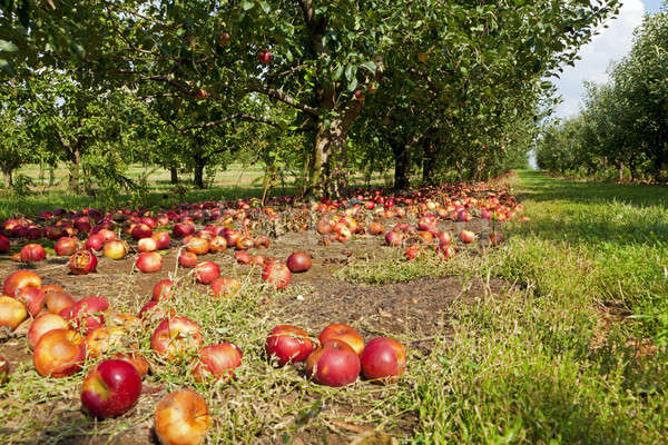 Manzanas suelo apple orchard Kentucky naturaleza verde Foto stock © alexeys