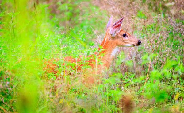 Reekalf permanente lang gras baby veld Stockfoto © alexeys