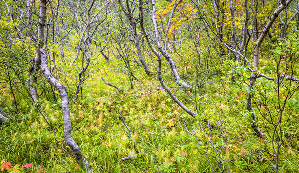 Islandic forest Stock photo © alexeys