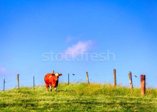 Cow on a farm Stock photo © alexeys