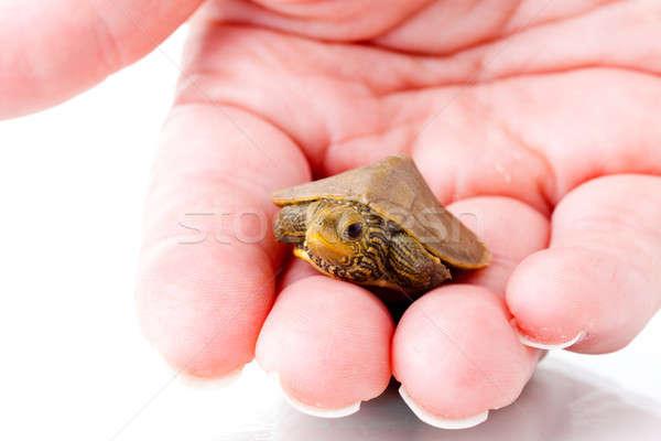 Baby turtle Stock photo © alexeys