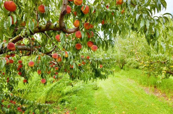 Peach verger fruits Photo stock © alexeys