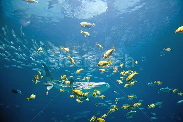 Balina köpekbalığı sualtı görüntü okullar balık Stok fotoğraf © alexeys