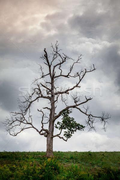 Lone tree Stock photo © alexeys