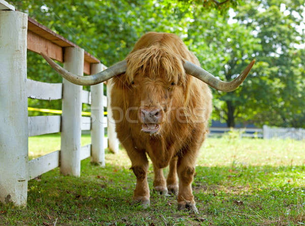 雄牛 クローズアップ 肖像 牛 ファーム 髪 ストックフォト © alexeys