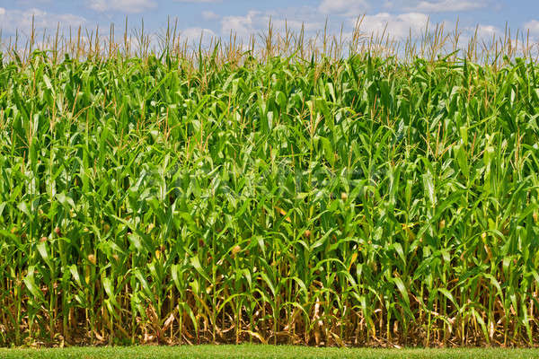 Kukorica magas farm központi Indiana égbolt Stock fotó © alexeys