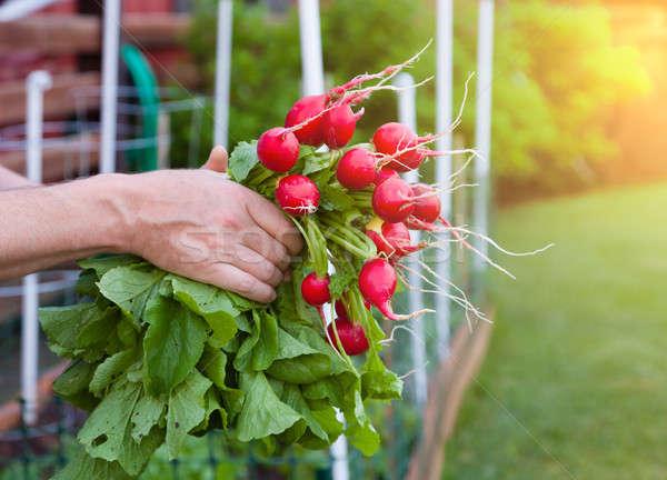 Stok fotoğraf: Turp · bahçıvan · turp · taze