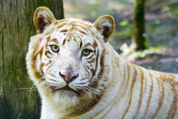Albino tiger Stock photo © alexeys