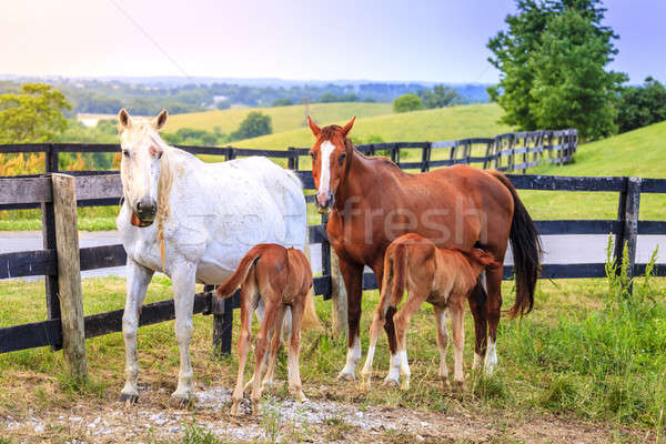 Mother horses with colts Stock photo © alexeys