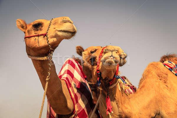 Yarış deve deve kulüp gökyüzü portre Stok fotoğraf © alexeys