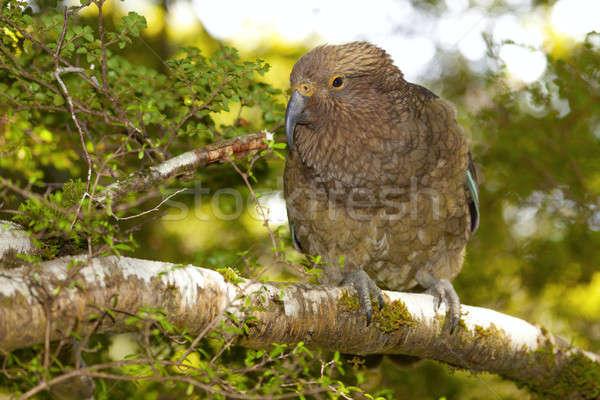 Kea Parrot Stock photo © alexeys