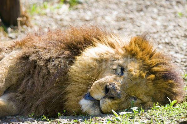 Koning leeuw slapen zon katachtig redding Stockfoto © alexeys