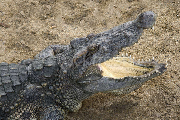 Coccodrillo ampia open bocca attesa alimentare Foto d'archivio © alexeys