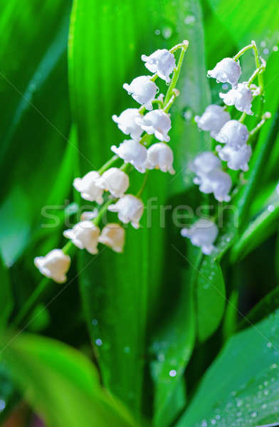 Lily of the valley Stock photo © alexeys