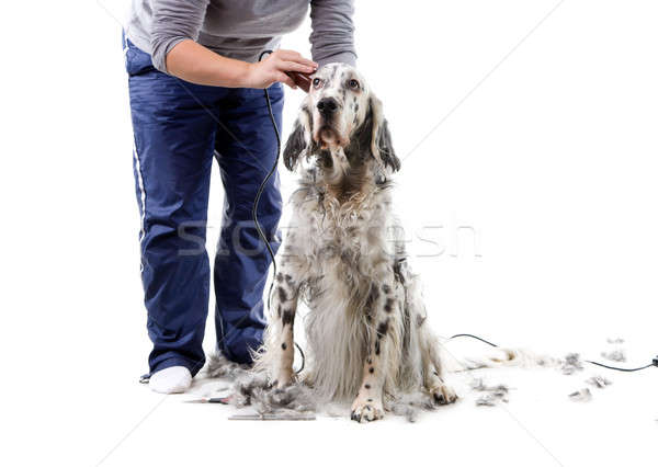 Dog grooming Stock photo © alexeys