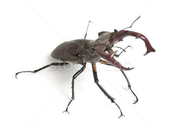 Stag beetle Stock photo © Alexstar