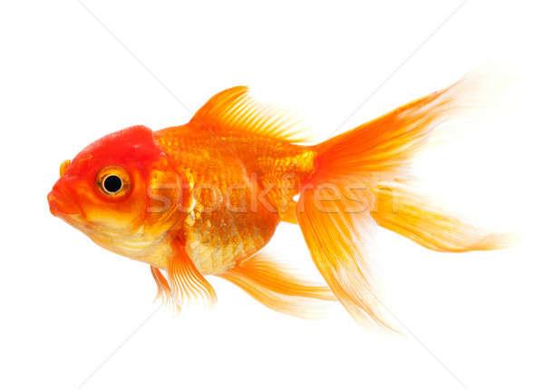 Peixe-dourado isolado branco vidro subaquático escala Foto stock © Alexstar