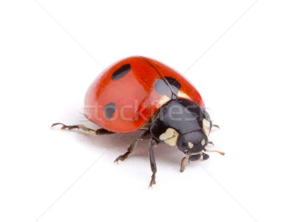 Photo stock: Coccinelle · blanche · nature · animaux · studio · bug