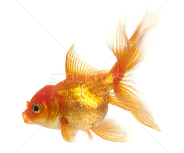 ストックフォト: 金魚 · 孤立した · 白 · ガラス · 水中 · 規模