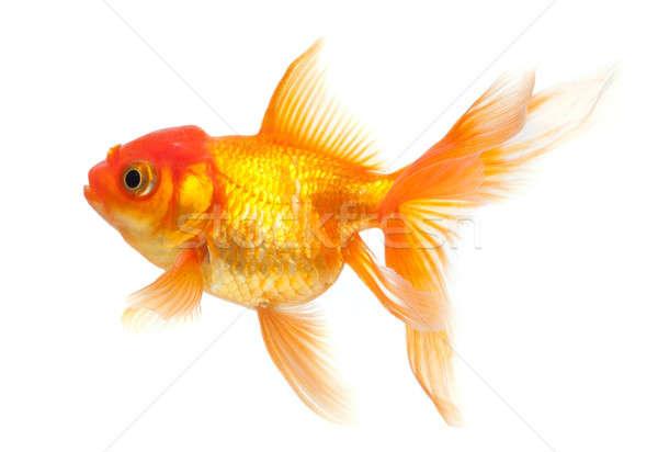 Aranyhal izolált fehér arany vízalatti friss Stock fotó © Alexstar