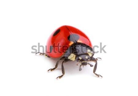 ladybug Stock photo © Alexstar