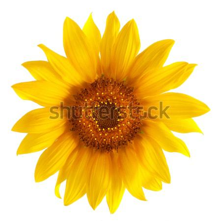 Sunflower Stock photo © Alexstar