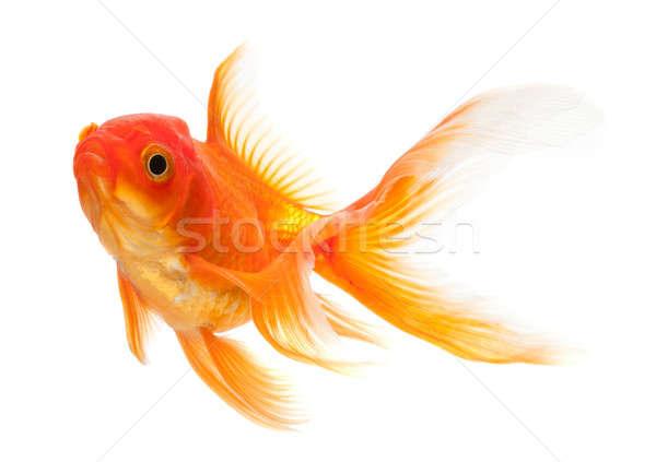 Goldfish изолированный белый стекла подводного масштаба Сток-фото © Alexstar