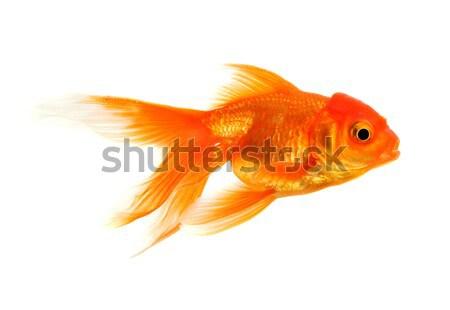 Ouro peixe peixe-dourado branco vidro subaquático Foto stock © Alexstar