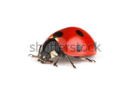 Coccinelle blanche nature animaux studio bug Photo stock © Alexstar