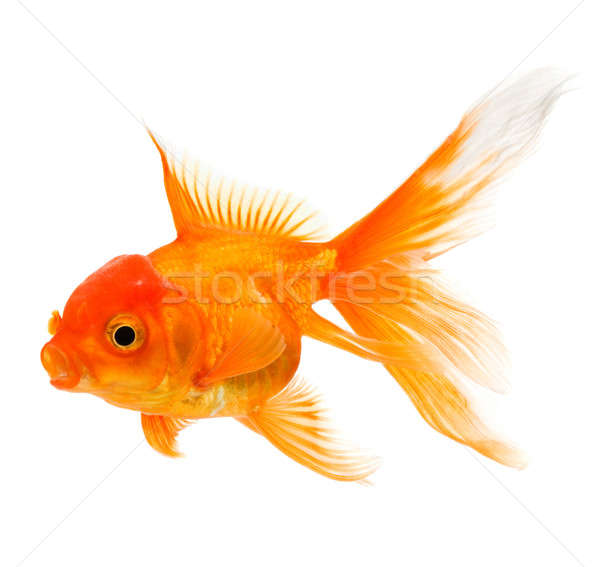 Goldfish Stock photo © Alexstar