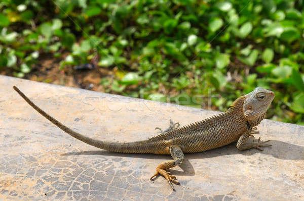 Hagedis zon wildlife Sri Lanka natuur achtergrond Stockfoto © alinamd