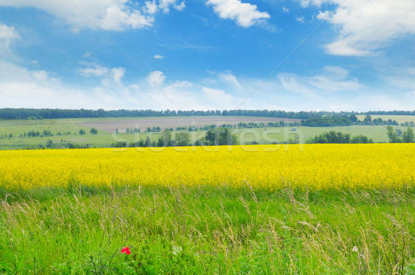 Stock photo: canola field and blue sky