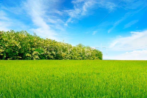 Veld blauwe hemel boom voorjaar gras Blauw Stockfoto © alinamd