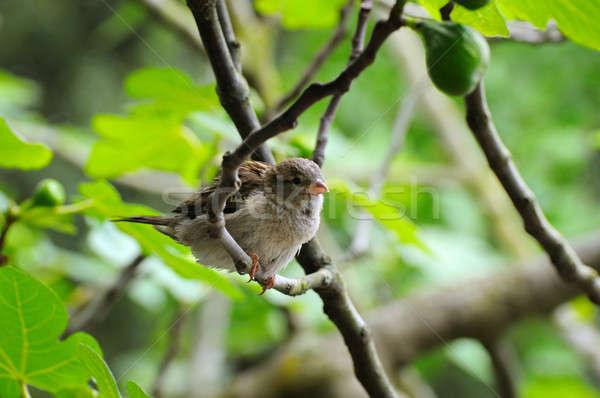 серый воробей Focus птица мелкий Сток-фото © alinamd