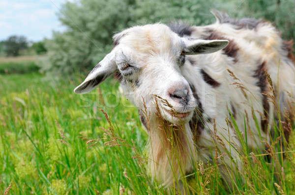 domestic goats grazing on pasture Stock photo © alinamd