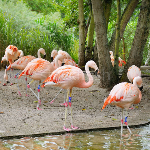 Pink flamingos at zoological garden Stock photo © alinamd