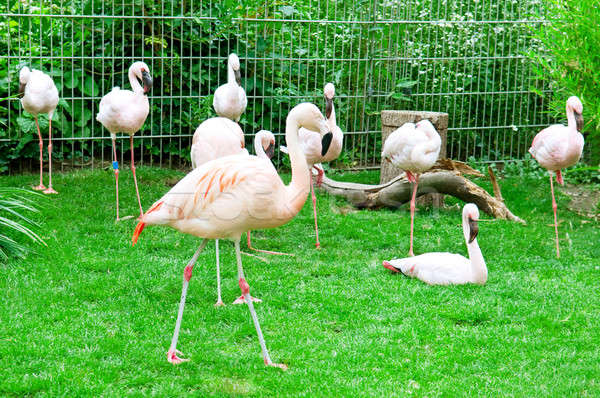 Pink flamingos at the zoo Stock photo © alinamd