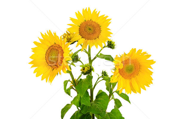 flower sunflower isolated on white background Stock photo © alinamd