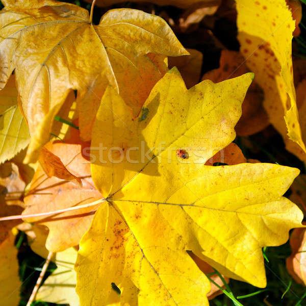 ősz citromsárga levelek katicabogár juharlevél fa Stock fotó © alinamd