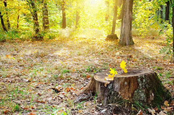 old tree stump in the autumn park Stock photo © alinamd