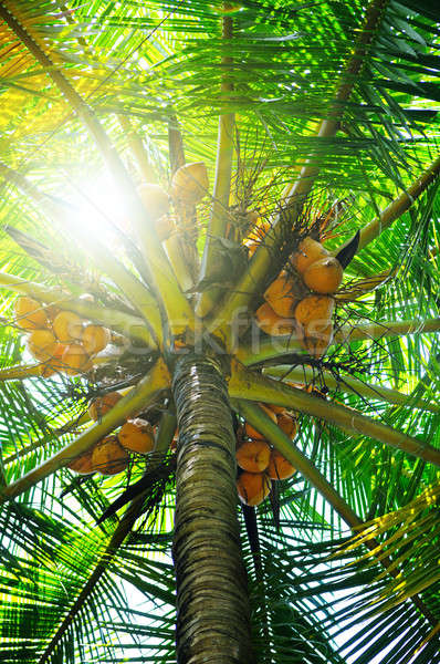 sunlight through the leaves of palm trees Stock photo © alinamd