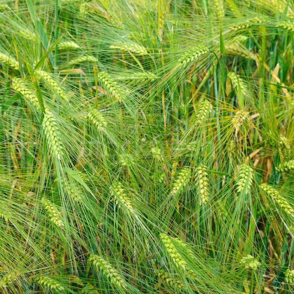 bright background of wheat ears Stock photo © alinamd