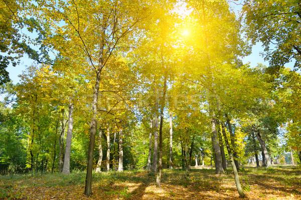 Jesienią lasu żółty pozostawia wygaśnięcia słońce Zdjęcia stock © alinamd